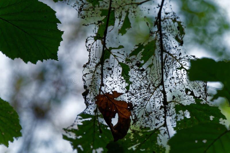 Skada av trädbladet med vid plågalarven arkivfoton