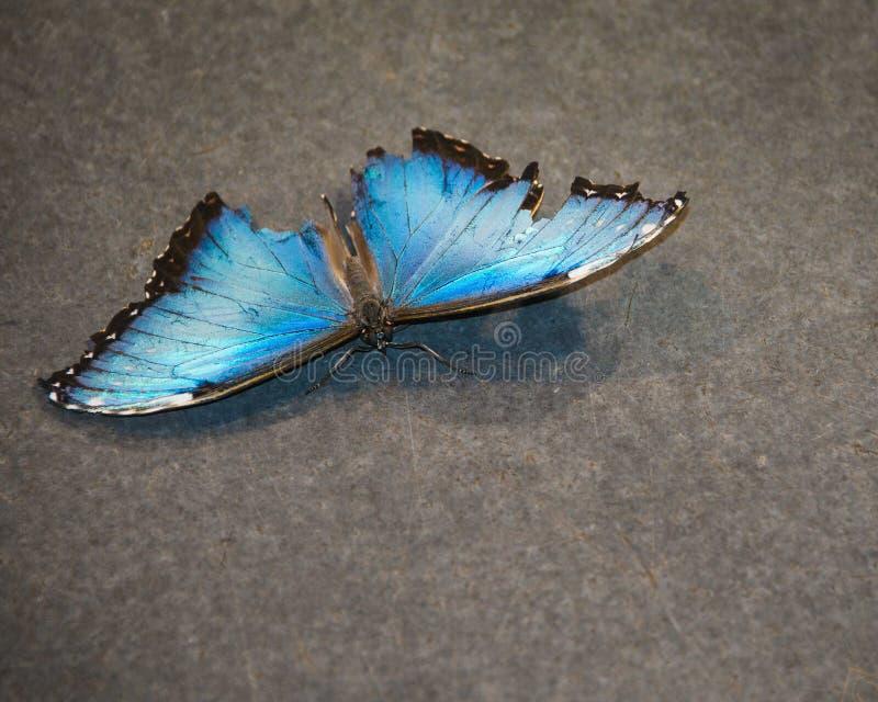 Skadad blå fjäril fotografering för bildbyråer
