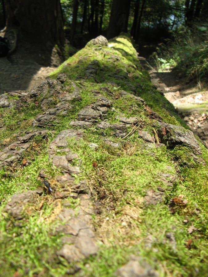 Skadlig av mossa den hela stammen av ett gammalt träd arkivbilder