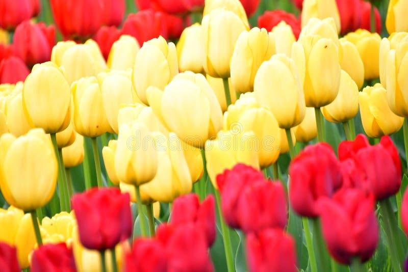 Фестиваль тюльпана долины Skagit стоковая фотография rf