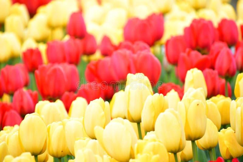 Фестиваль тюльпана долины Skagit стоковые фотографии rf