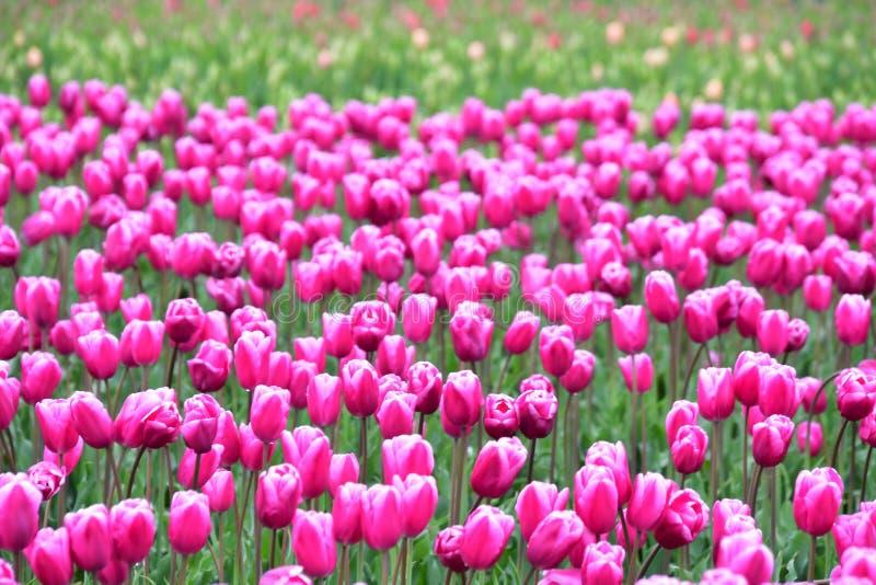 Фестиваль тюльпана долины Skagit стоковые изображения rf