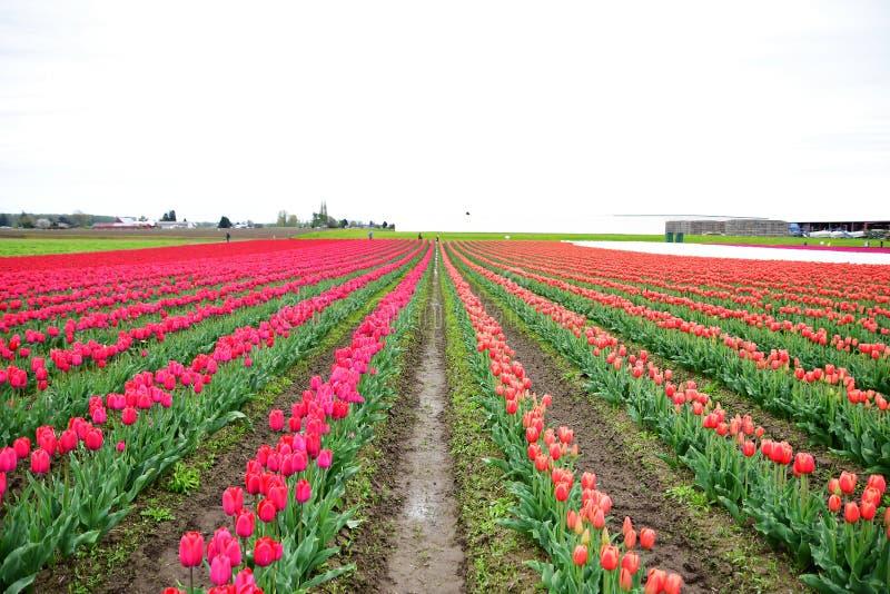 Фестиваль тюльпана долины Skagit стоковая фотография