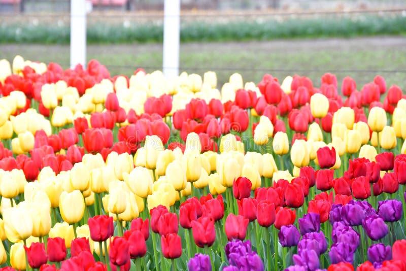 Фестиваль тюльпана долины Skagit стоковые изображения