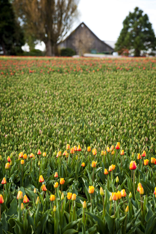 Skagit Valley Daffodil Field. The Skagit Valley, near Mt. Vernon, Washington, is best known for it's tulips in all shapes and colors. Yhe barn in the backgrounds stock photography