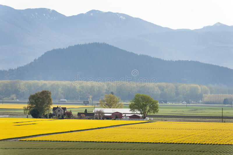 Skagit Valley Daffodil Field. royalty free stock image