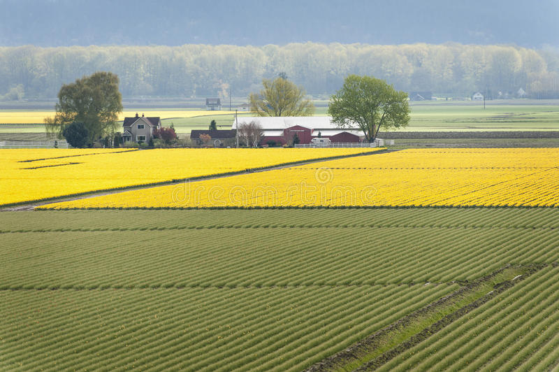 Skagit Valley Daffodil Field. royalty free stock photos