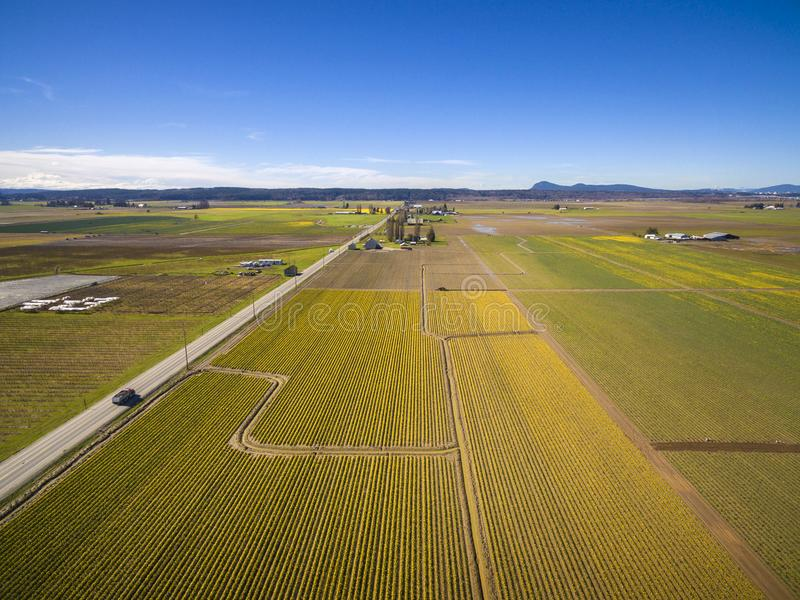 Skagit Valley Daffodil Field. A sure sign of spring is the emergence of the bright yellow daffodils in the Skagit Valley of western Washington state. Commercial stock images