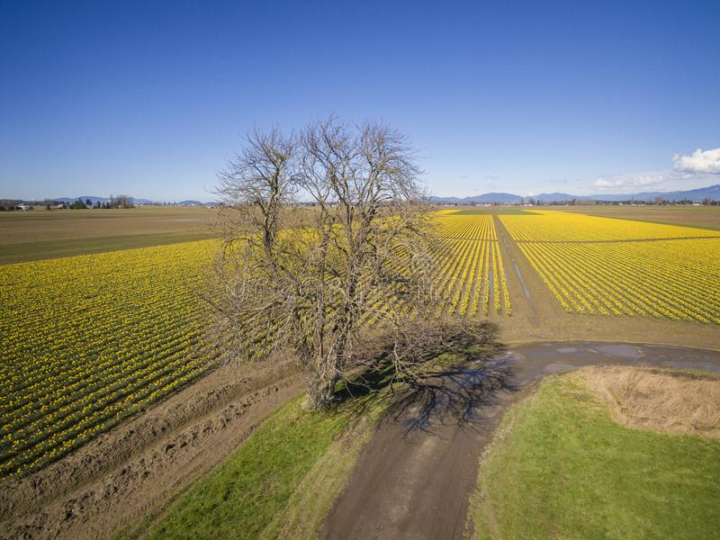 Skagit Valley Daffodil Field. A sure sign of spring is the emergence of the bright yellow daffodils in the Skagit Valley of western Washington state. Commercial stock photography