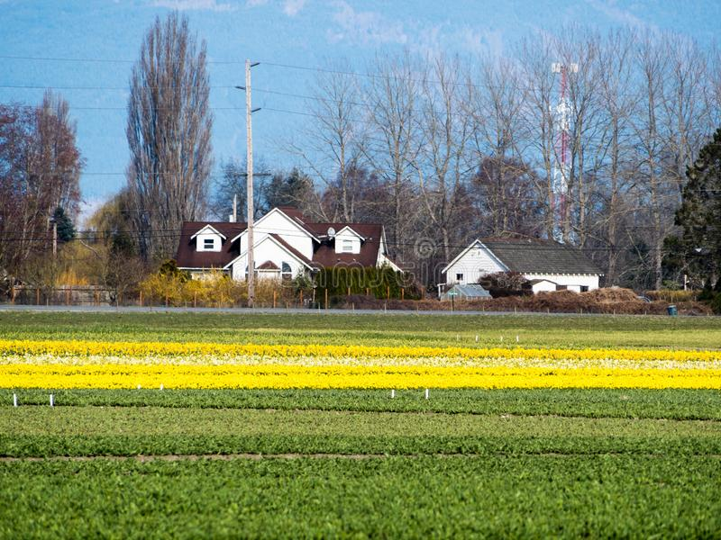 Farmlands with daffodil fields in Washington state, USA stock image