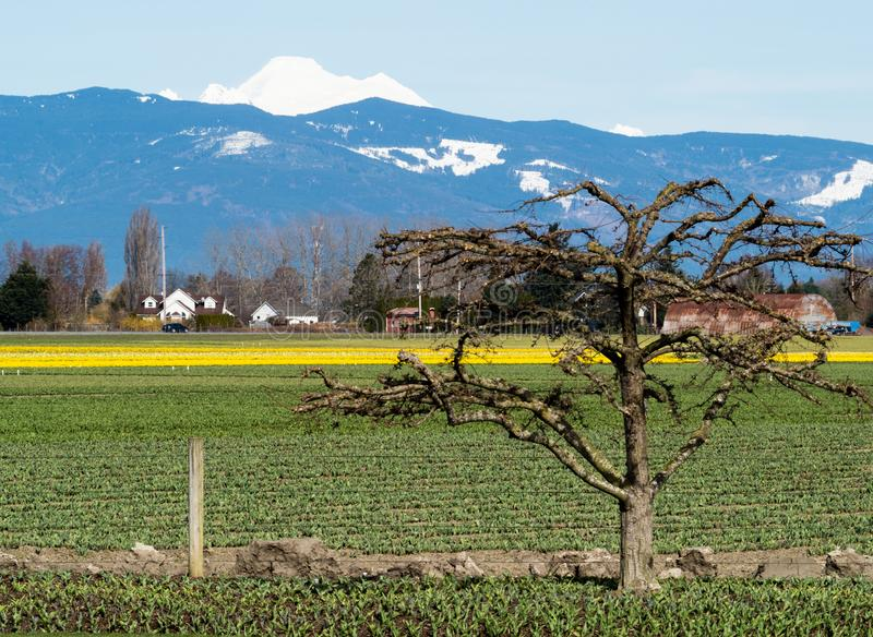 Farmlands with daffodil fields in Washington state, USA stock images