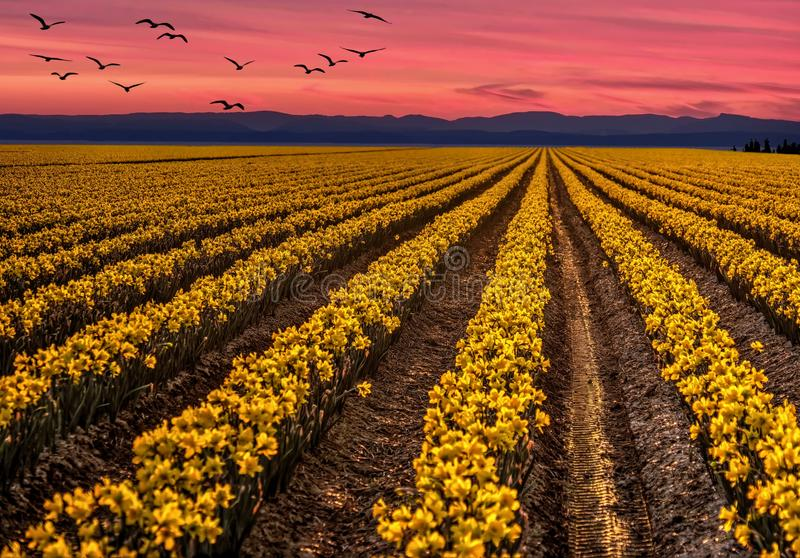 Daffodil fields at sunset with birds flying over. Skagit Valley Tulip Festival near Mount Vernon. WA. USA stock photos