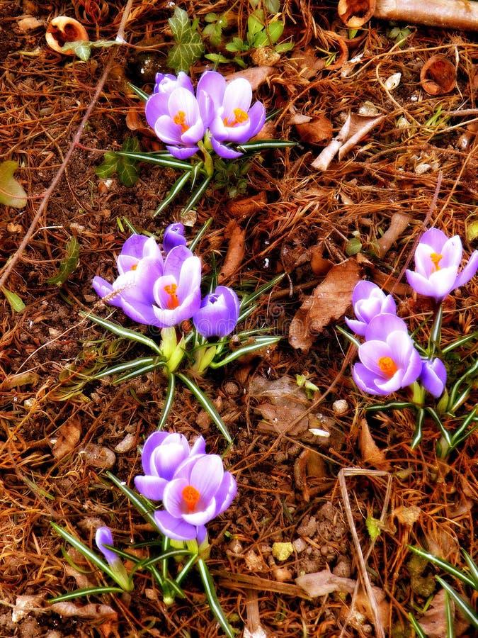 Skakać wiosna fiołki na krawędzi lasu 9 zdjęcie royalty free