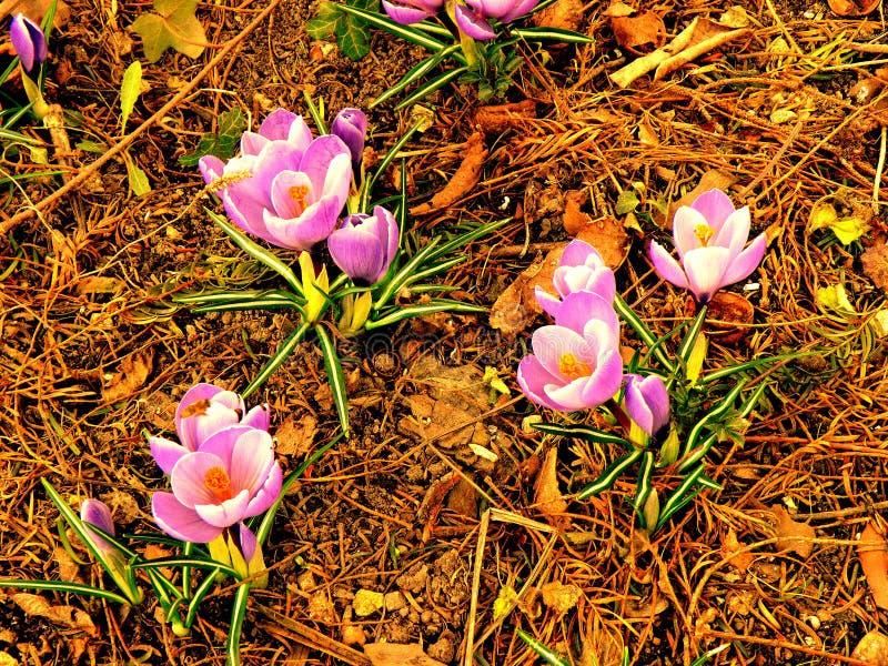 Skakać wiosna fiołki na krawędzi lasu 10 obraz royalty free