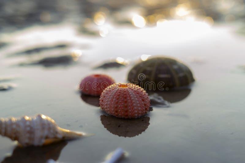 Skal för havsgatubarn på den våta sandstranden fotografering för bildbyråer