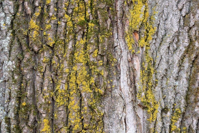 Skal för poppelträd som täckas av laven som naturlig bakgrund royaltyfri fotografi