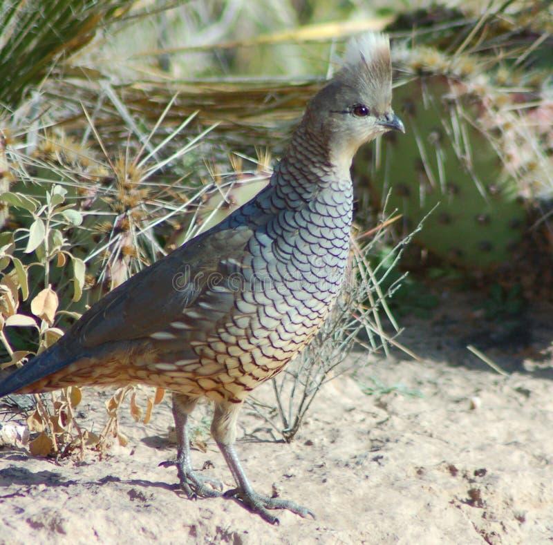 skalapp quail arkivbilder