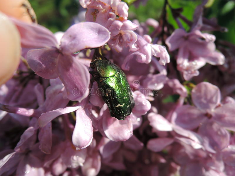 Skalbagge kryp på lilan Jordgräsplanskalbagge royaltyfria bilder