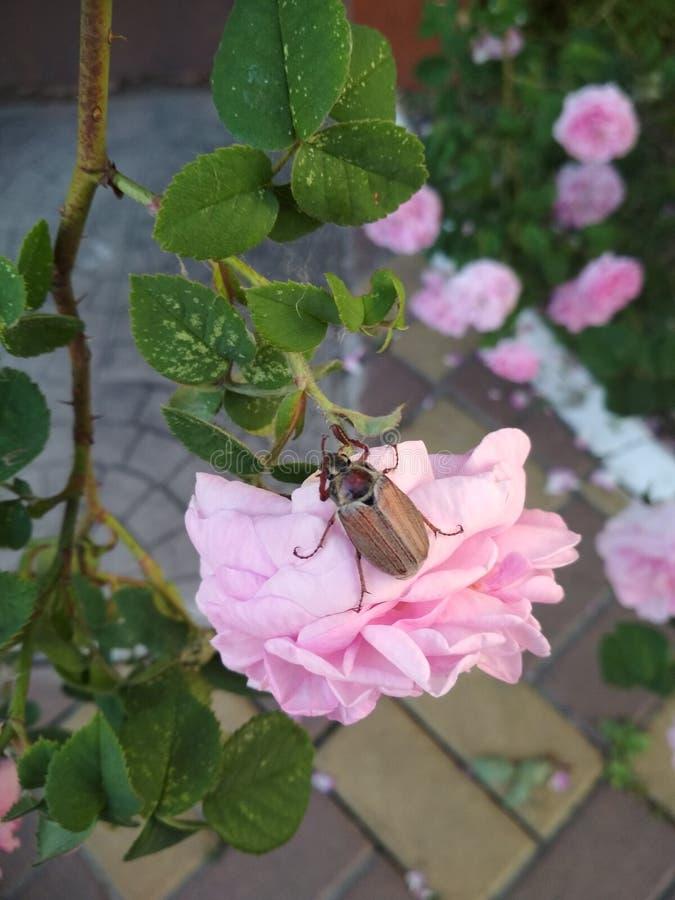 Skalbagge på en ros i trädgården royaltyfri fotografi