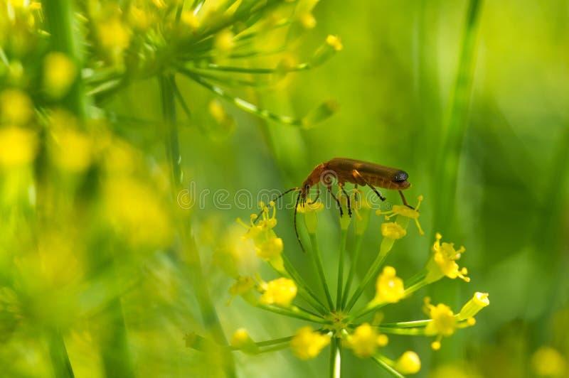 Skalbagge på gula blommor arkivfoto