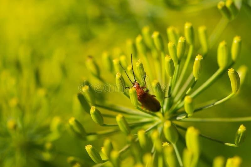 Skalbagge på gula blommor arkivfoton