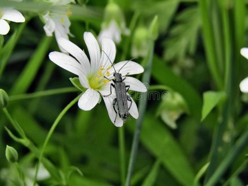 Skalbagge p? den vita blomman arkivfoto
