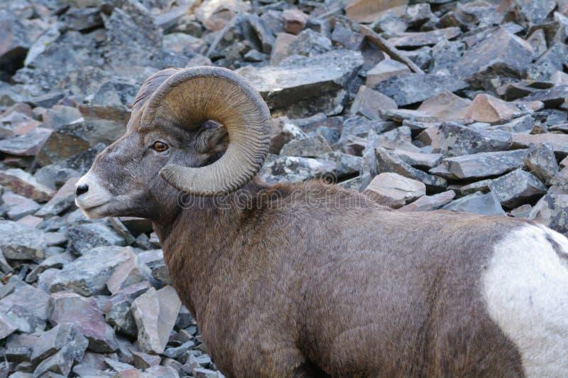 Skalistej góry bighorn cakle, canadensis obrazy stock