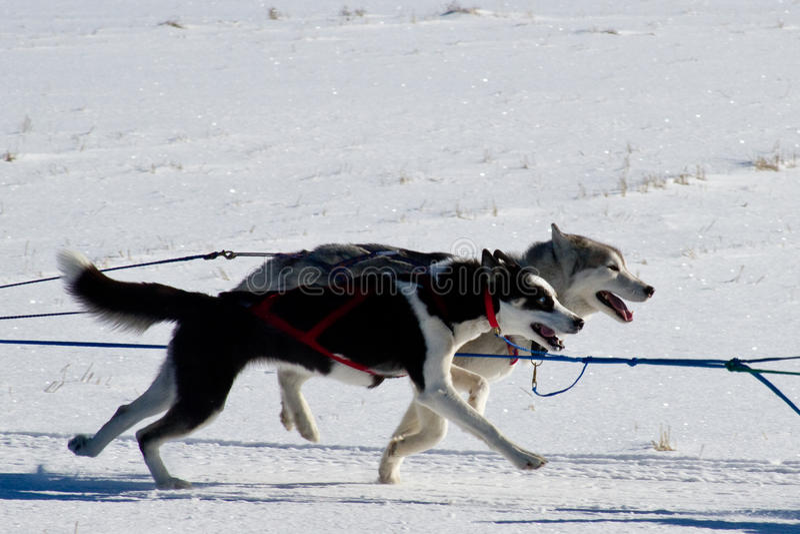 Skalistej góry sania psa mistrzostwa ściga się sanie  obrazy royalty free