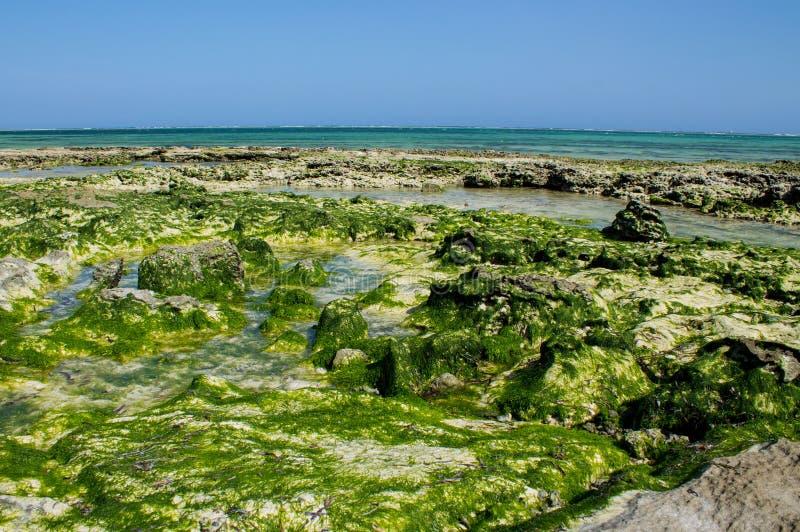 Skalisty denny wybrzeże zakrywający z gałęzatką i fala zdjęcia stock