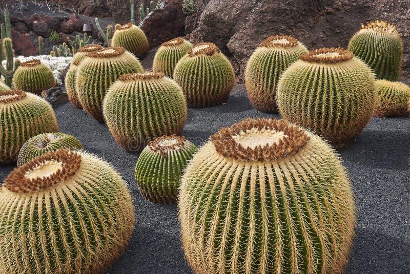 Skalisty ogród z Echinocactus grusonii roślinami zdjęcia royalty free