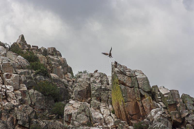 Skalisty szczyt z czarnego sępa tyczeniem na skale Extremadura, Hiszpania zdjęcie royalty free