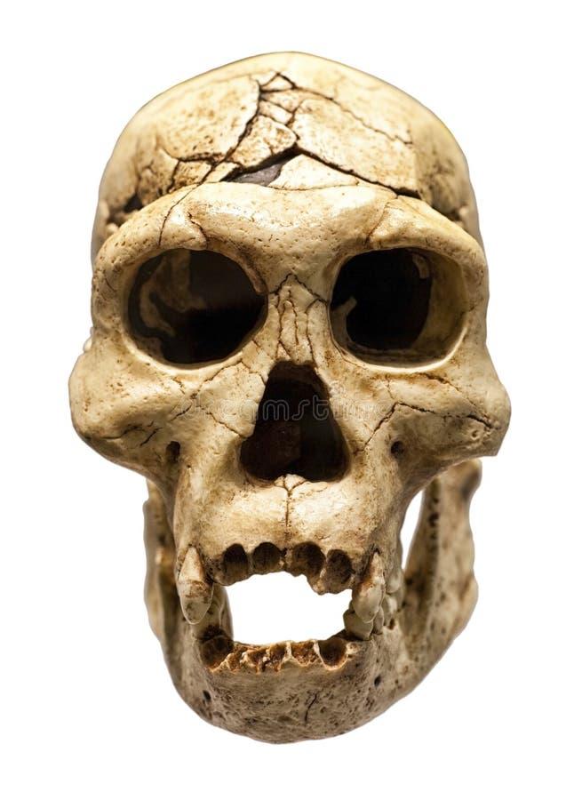 Skalle av Homo erectus arkivfoto