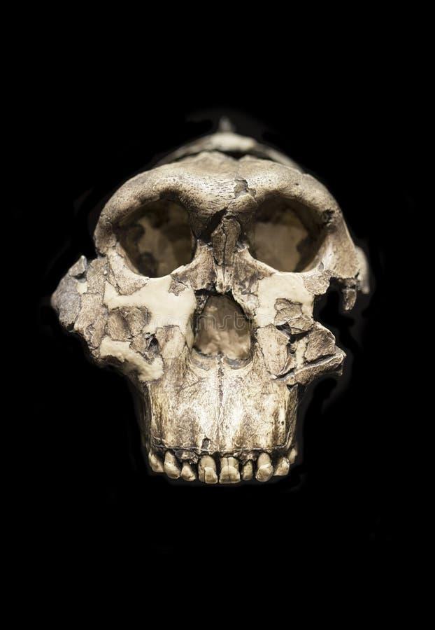 Skalle av OH 5 Zinj, Paranthropusboisei royaltyfri bild