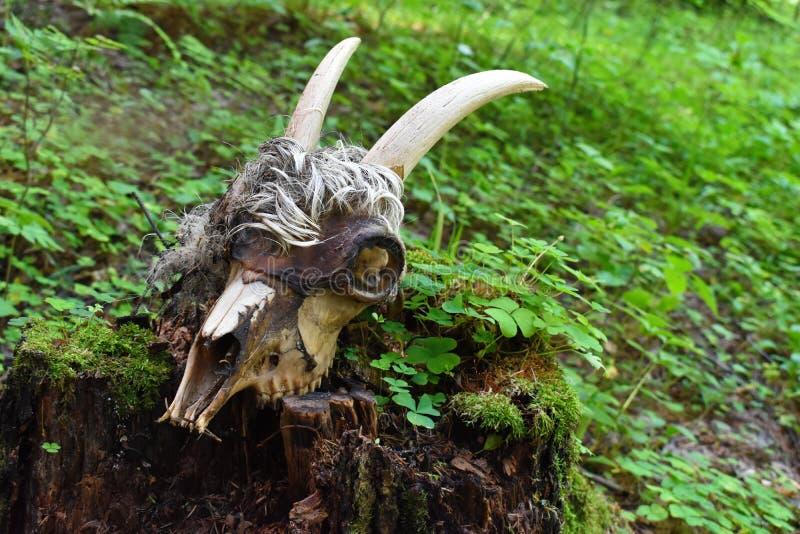 Skalle och ben av det döda djuret arkivfoton