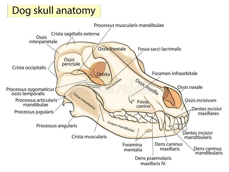 Skallen av en hund Struktur av benen av huvudet, anatomisk design I latin stock illustrationer