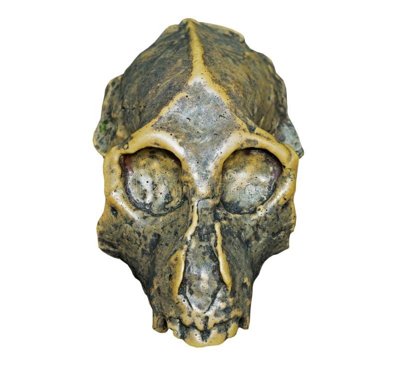 Skallen av för apaonwhite för Dryopithecus forntida bakgrund royaltyfri fotografi