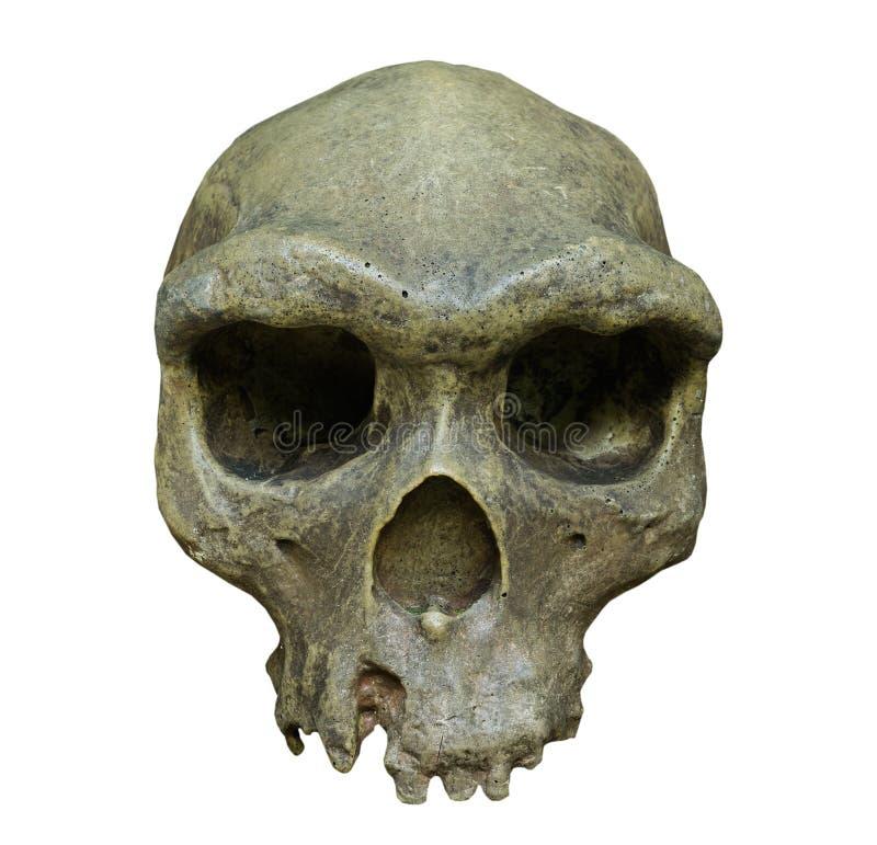 Skallen av Homo erectus på vit bakgrund royaltyfria bilder