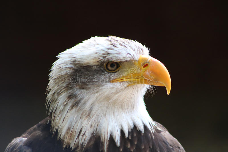 skallig örn royaltyfria foton