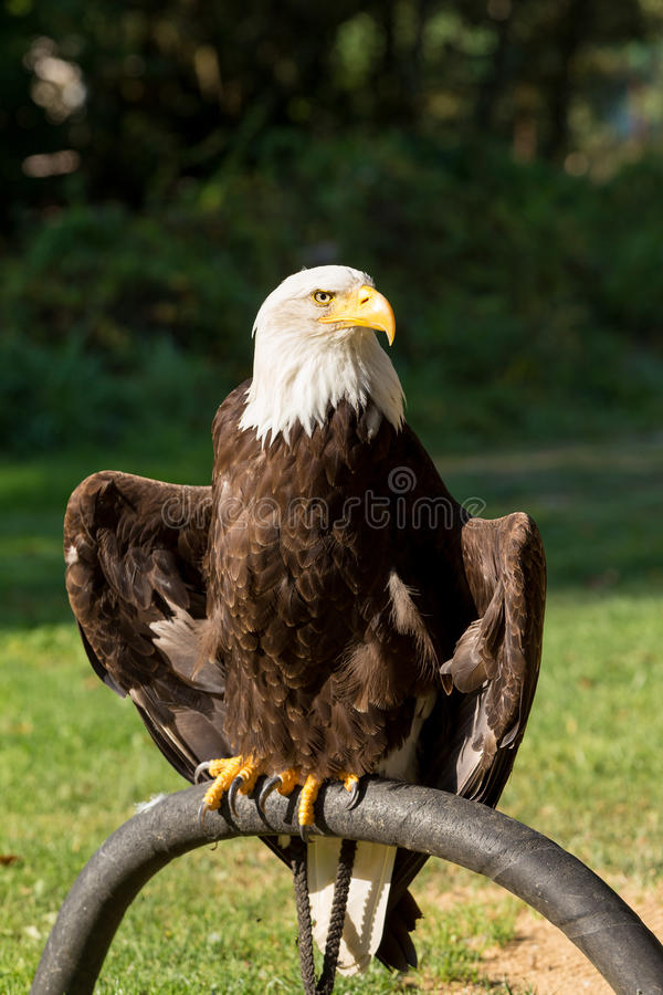Skallig örn & x28; Haliaeetusleucocephalus& x29; fotografering för bildbyråer