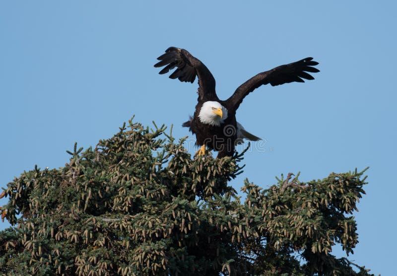 Skallig örn som tar flyg från ett träd arkivbilder