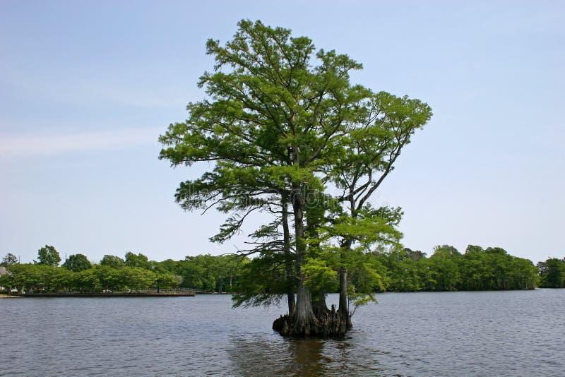 skallig cypress royaltyfri bild