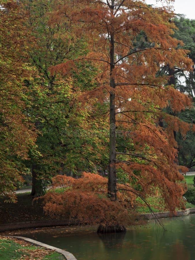 Skallig cypress i dammet royaltyfri foto