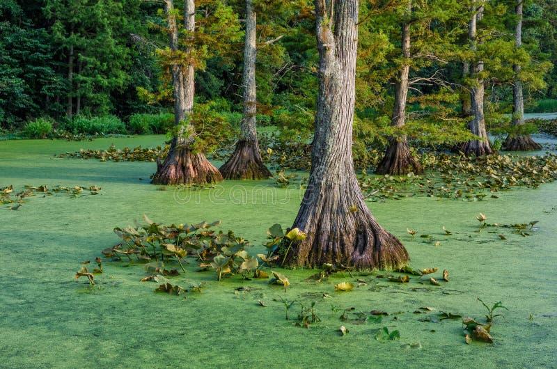 Skallig cypress i lugna vatten, Reelfoot sjö i Tennessee royaltyfri foto