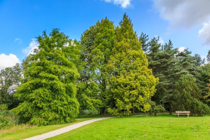 Skallig en cypress-, Taxodiumdistichum och en Dawn Redwood, Metasequoiaglyptostroboides royaltyfri fotografi