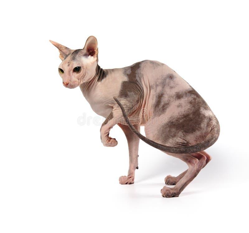 skallig katt royaltyfria bilder