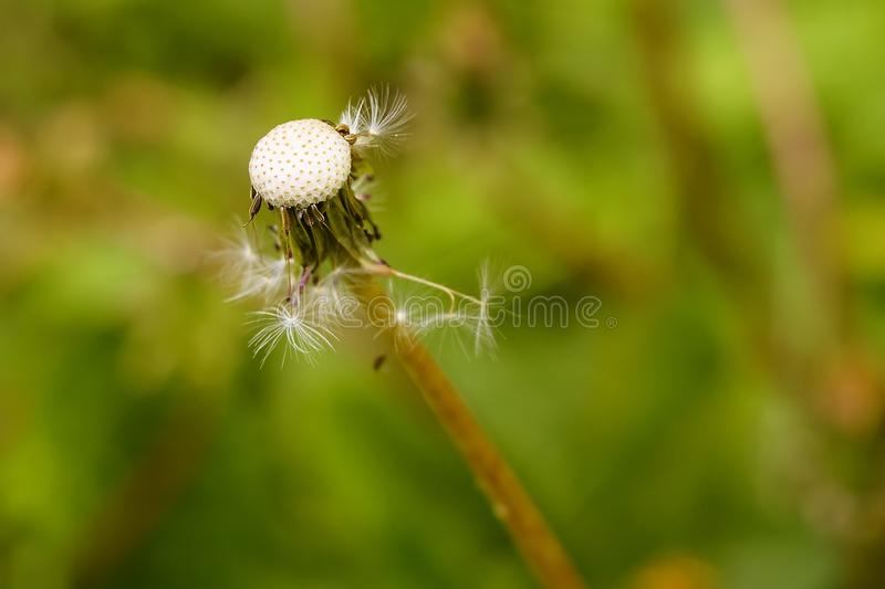 Skallig maskros i gräset arkivbild