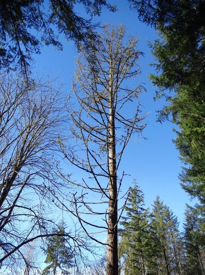 skallig tree arkivfoto