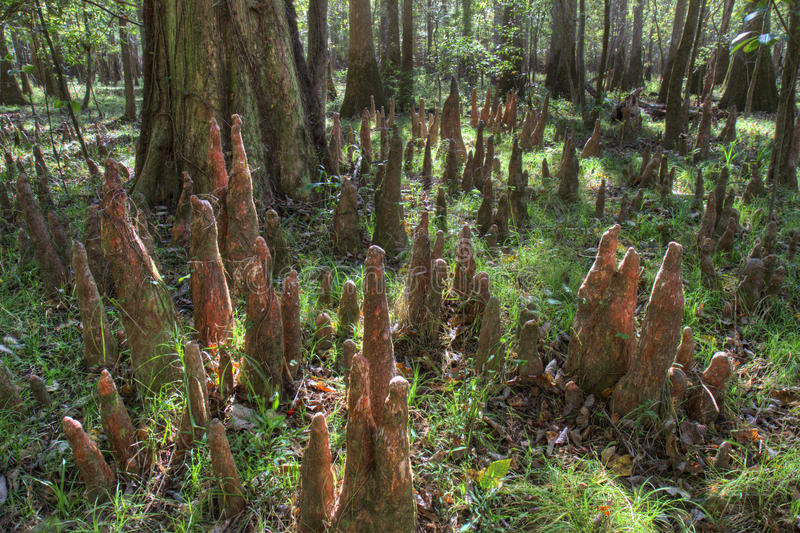 Skalliga Cypress knä, Congaree nationalpark royaltyfria bilder