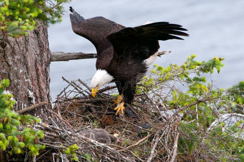 Skalliga Eagle Arriving på redet, British Columbia, Kanada arkivbild