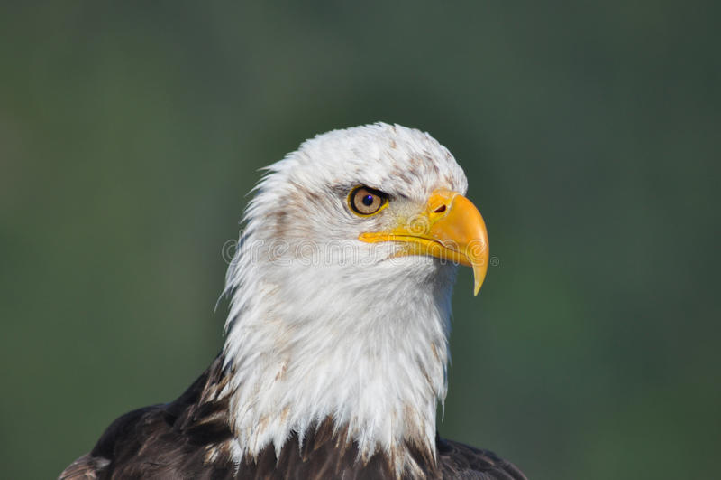 Skalliga Eagle - Closeup - huvud endast royaltyfri bild